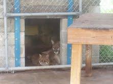 bobcat panther